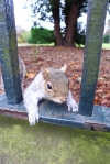 Squirrel in Grovesnor Park