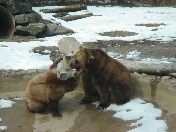 Grizzly bears at Toronto Zoo