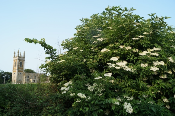 elder growing in the hedgerow
