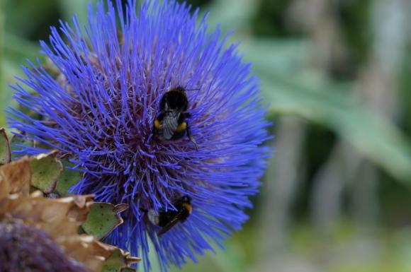 bees leicester botanical gardens