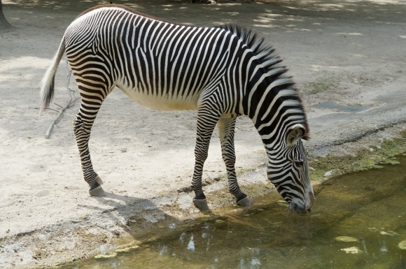 zebra- frankfurt Zoo