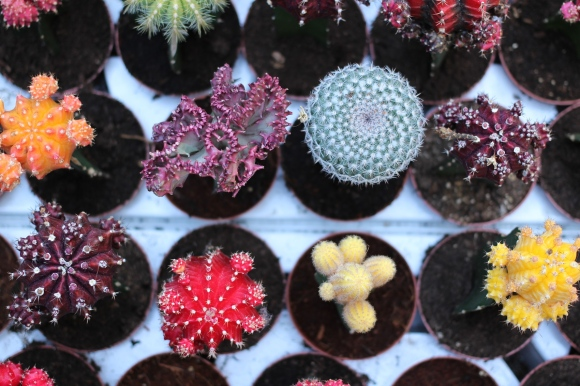 Cacti at Amsterdam flower market