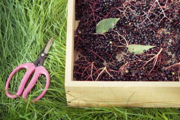 collecting elderberries